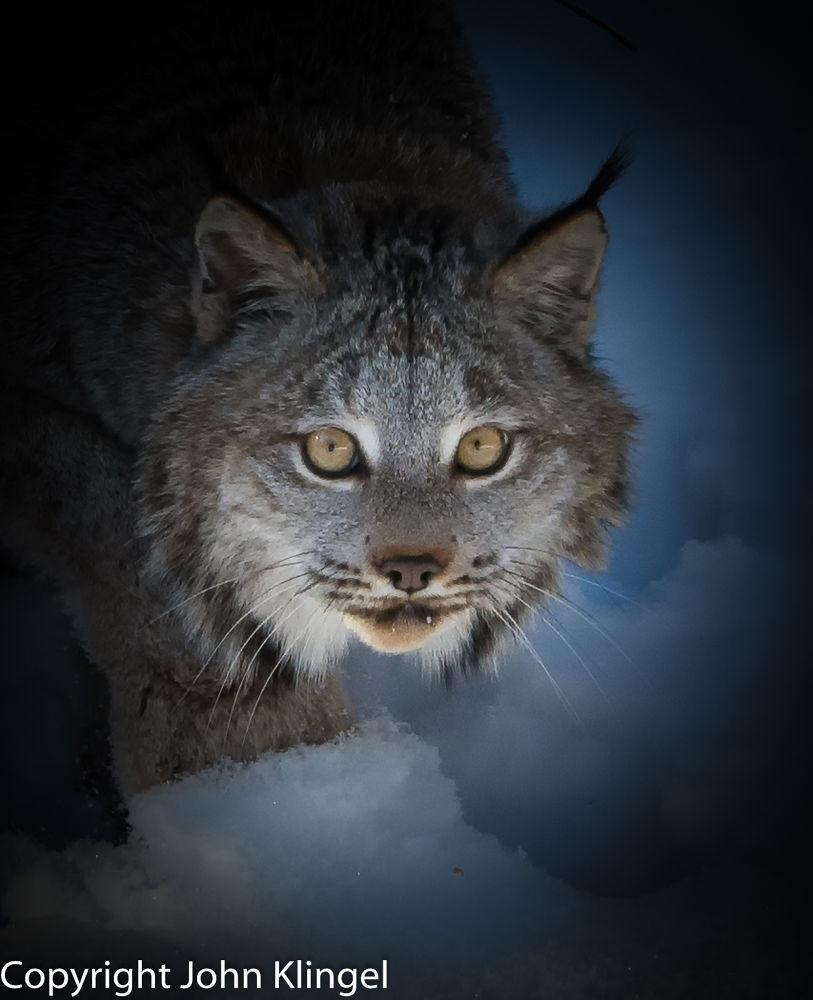 Lynx by John Klingel