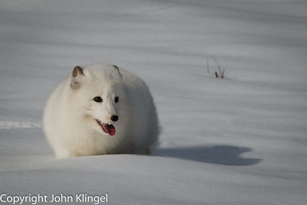 Arctic Fox by John Klingel