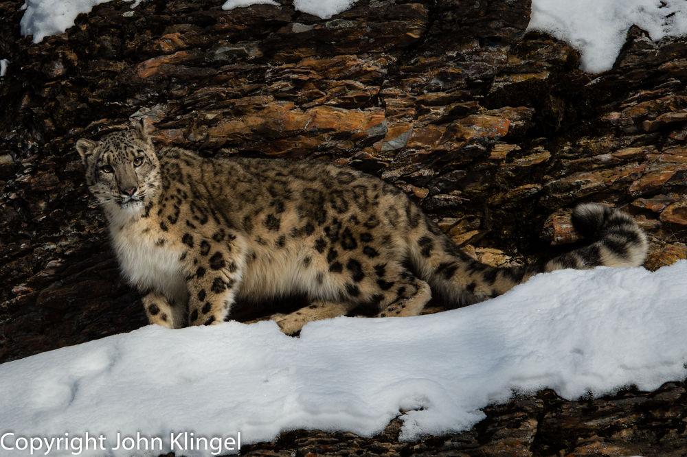 Snow Leopard by John Klingel