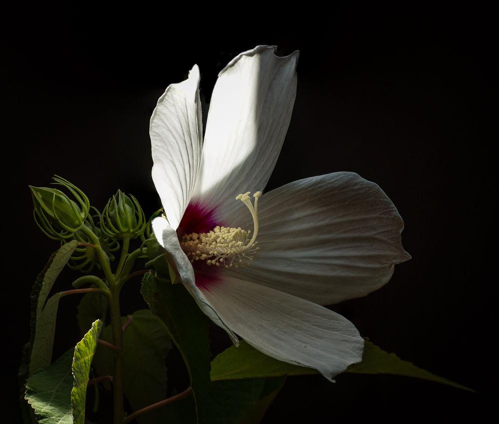 Wild Hibiscus by John Klingel