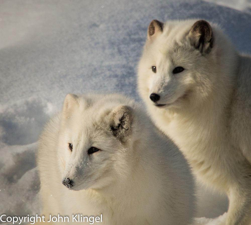 Arctic Foxes by John Klingel