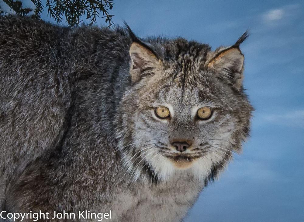 Bob Cat by John Klingel