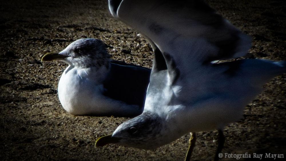 Photo in Animal #animal #aguda #praia #gaivota