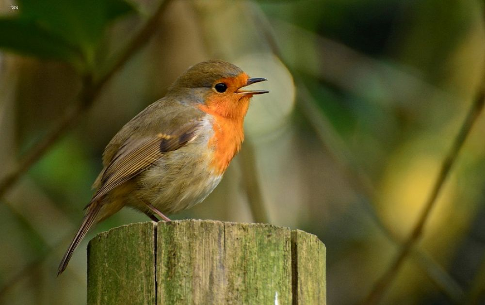 Robin Sings a sweet song by Suus Lutz