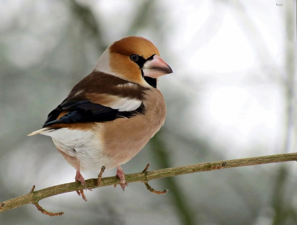 hawfinch / Appelvink by Suus Lutz