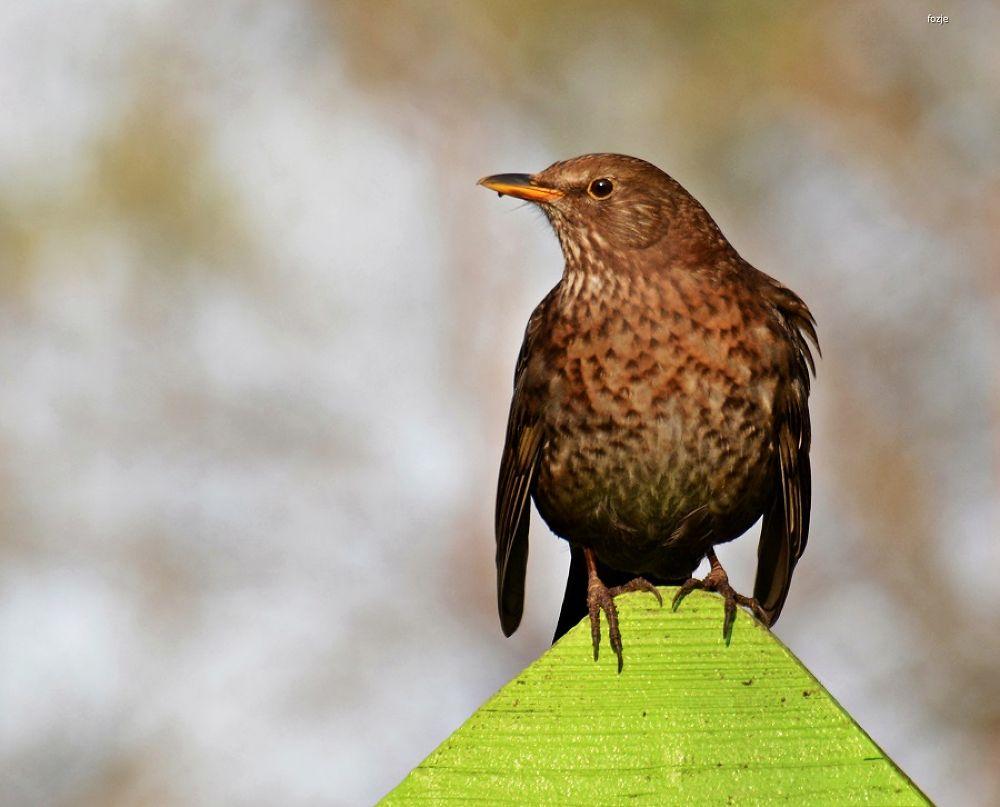 Blackbird / Merel by Suus Lutz