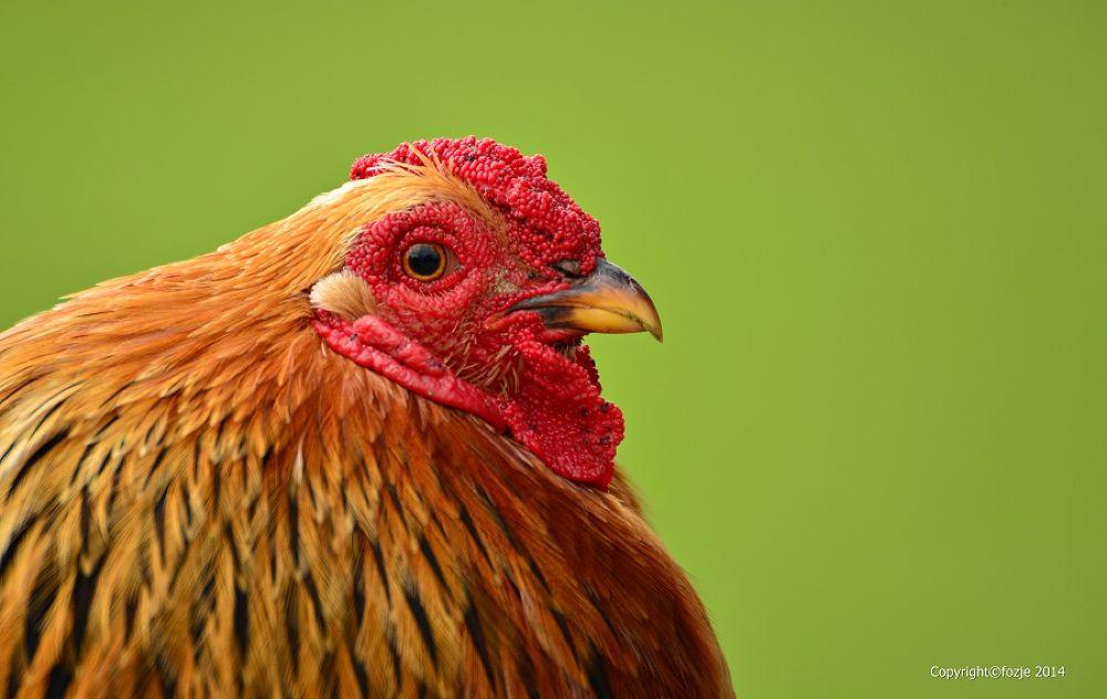 rooster / Haan by Suus Lutz