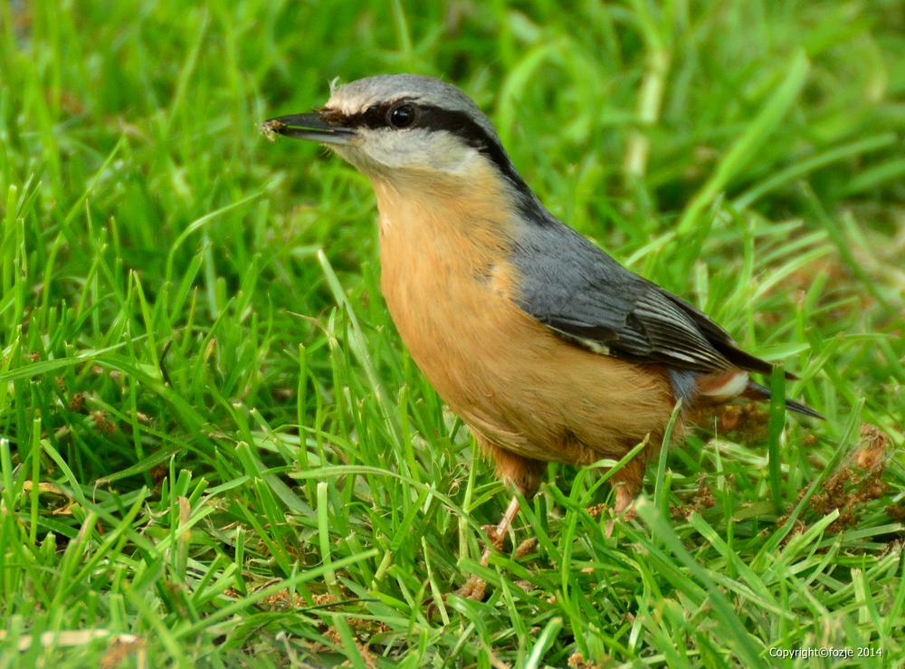 Photo in Animal #sitta europaea #boomklever #bird #fozje