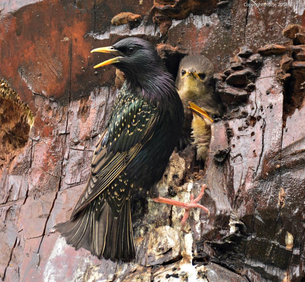 Photo in Animal #sturnus vulgaris #spreeuw #baby's #fozje #bird