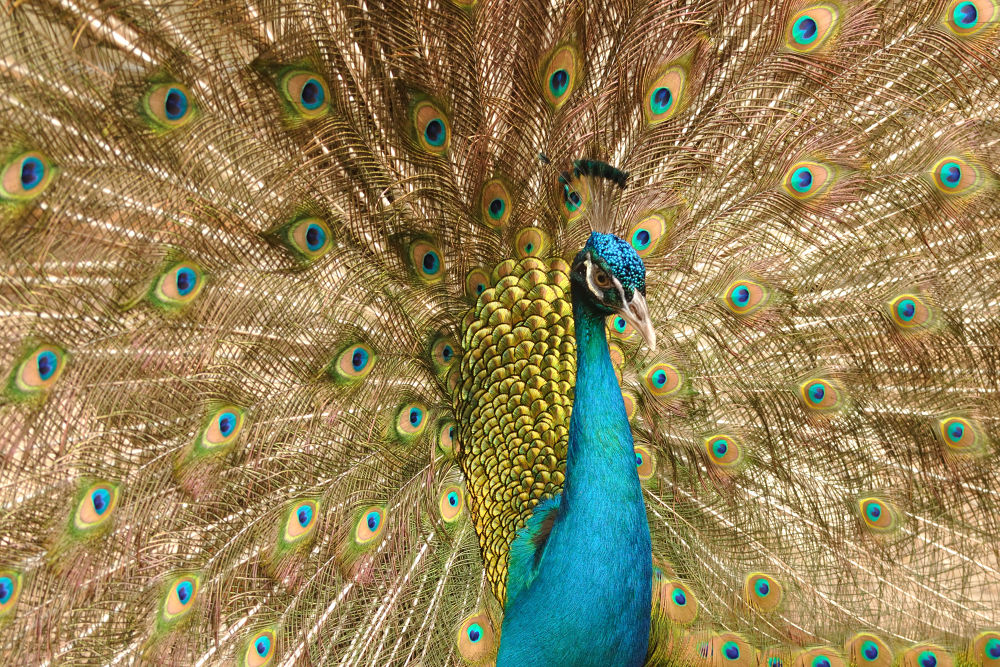 Peacock by Baruch Menahem