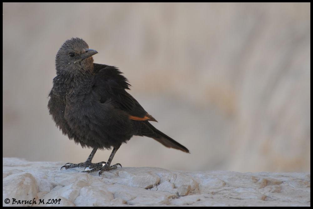 Black Bird by Baruch Menahem