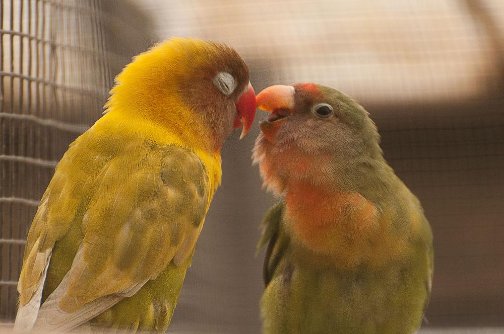Parrots by Baruch Menahem