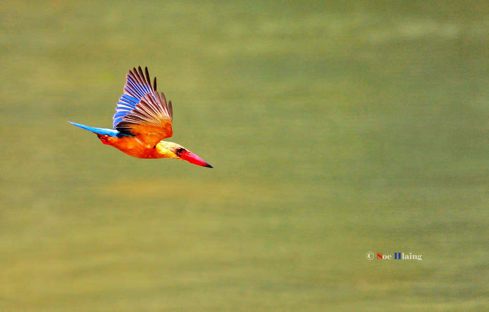 Speed Diving Stork-billed Kingfisher. by SoeHlaing