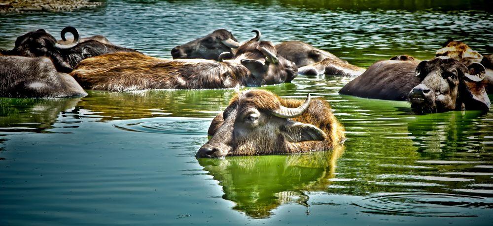 Buffalos of Pondicherry by Shivas Sivakumar