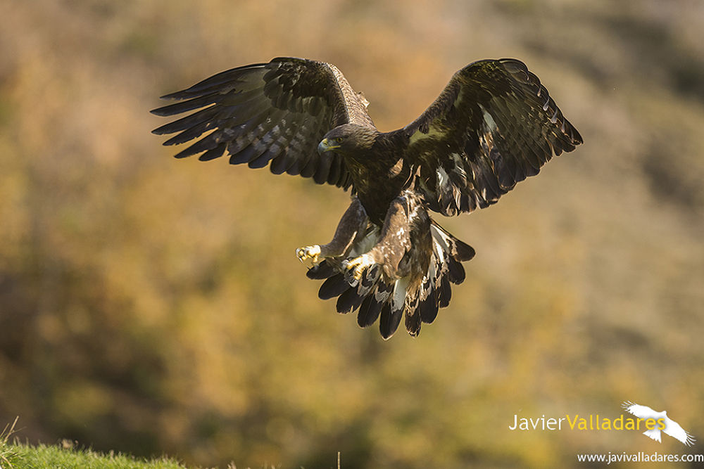 Aguila Real by javi valladares