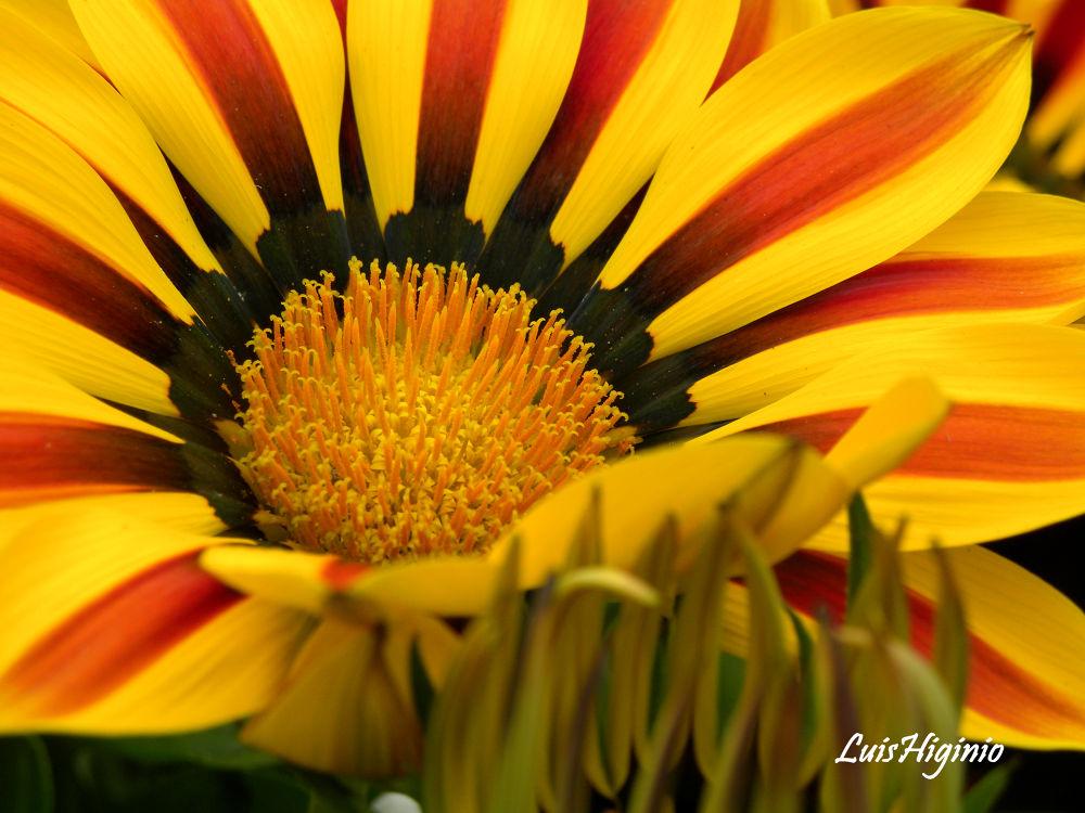 DSCN9404 - copia - copia Flowers beauties of nature. by Luis Higinio Hernandez Pablo