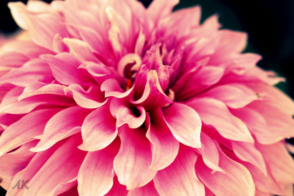 Flower by Ankush Kapoor