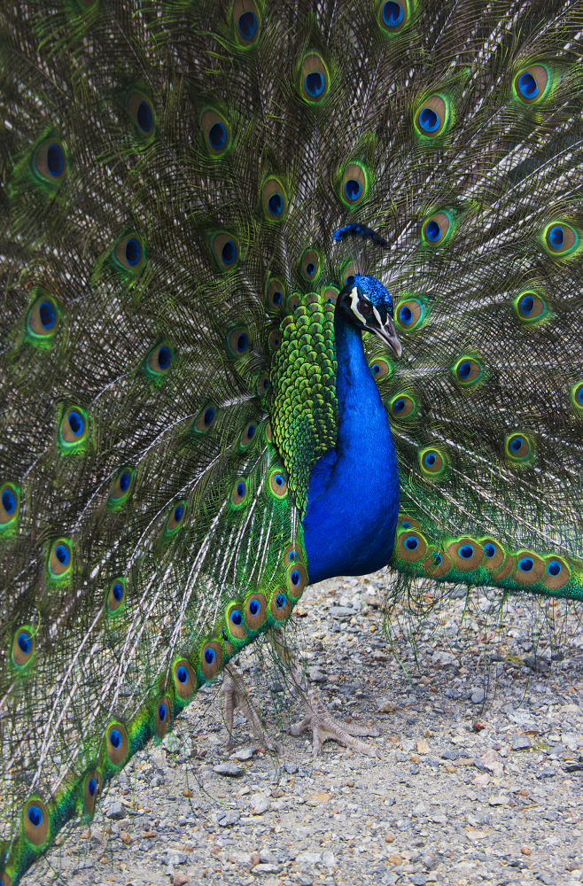 Peacock showing off - Byford, Perth, WA by Phoenix Nicolson