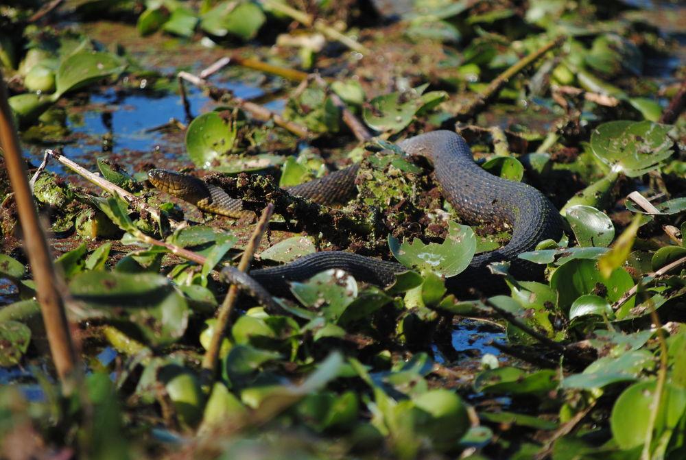 Water snake by Heather Browand