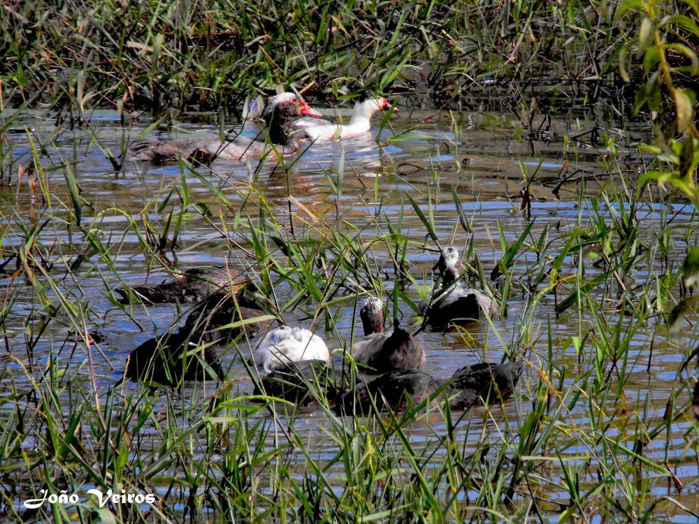 Ducks in Nature by João Soares Veiros