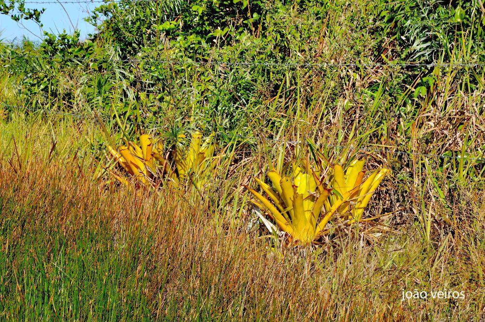 Native Bromeliads - N. Viçosa - BA - Brazil by João Soares Veiros