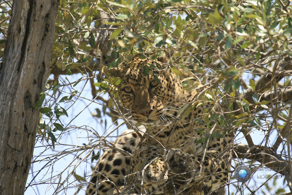 Leopard hiding by DarrenWood