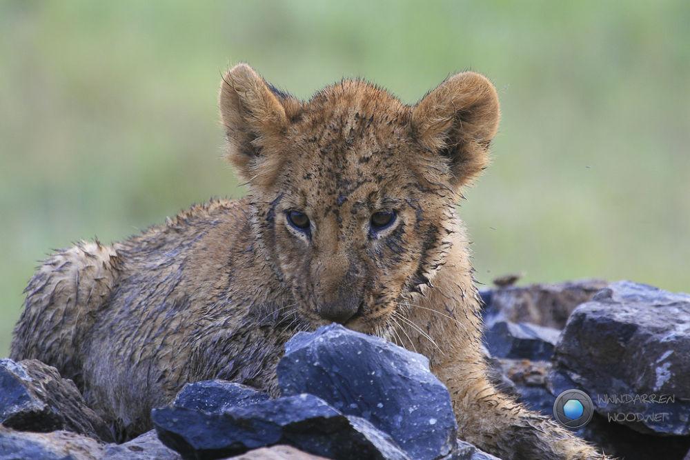 Dirty Lion Cub by DarrenWood