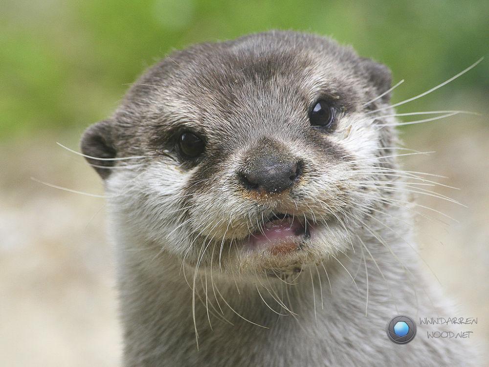 Otter by DarrenWood