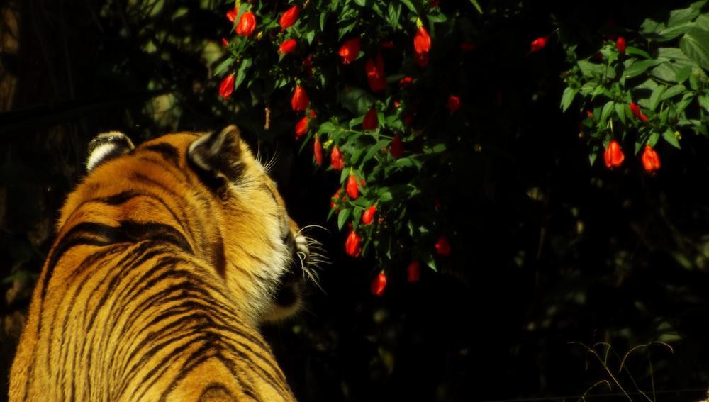 Photo in Animal #tiger #felino #animal #life #nature #bigcat