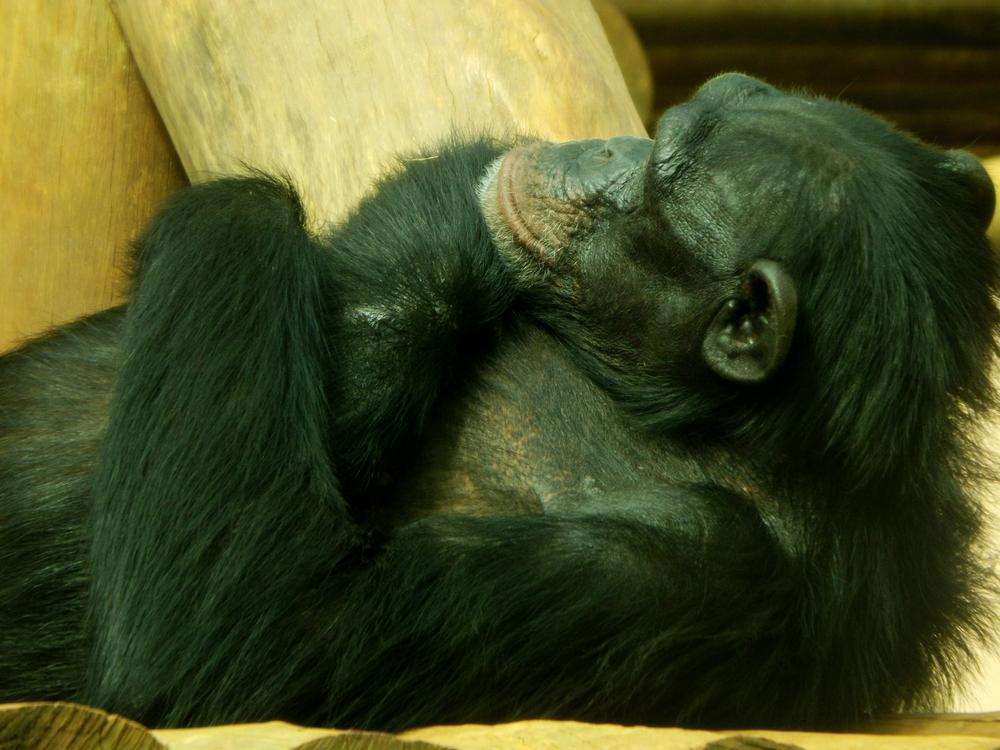Photo in Animal #monkey #animal #life #nature #zoo