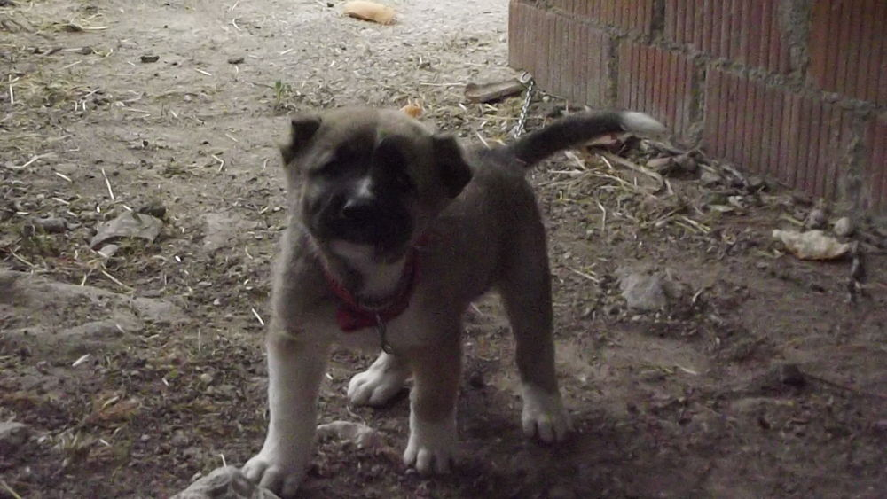 Photo in Animal #karabaş #kangal #köpek #hayvan