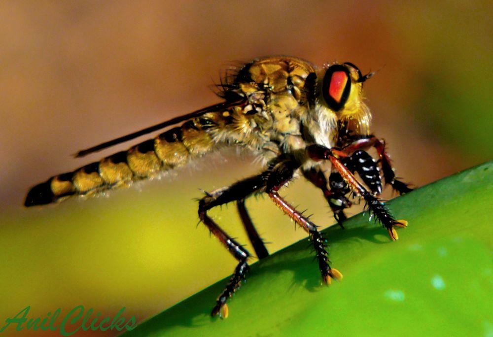 Robber Fly by mranilnairg