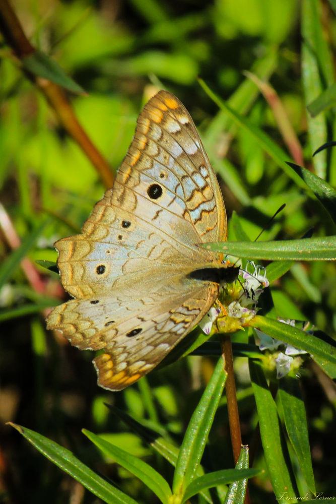 borboleta by Fernanda Lerner
