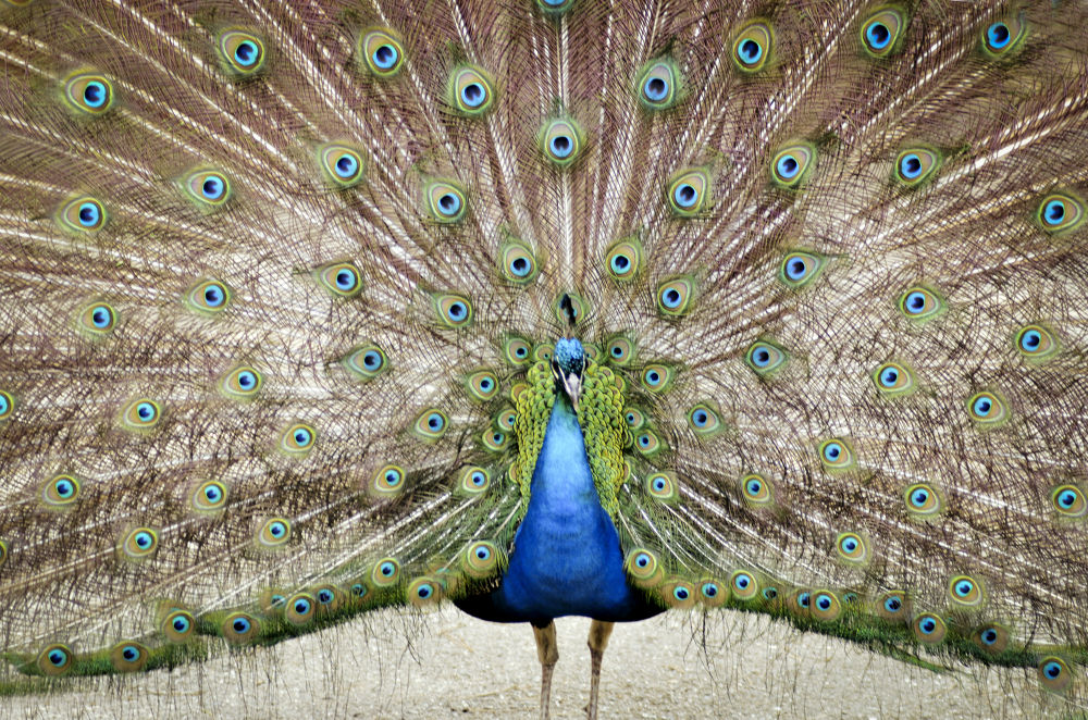 Peacock by PerfectClick