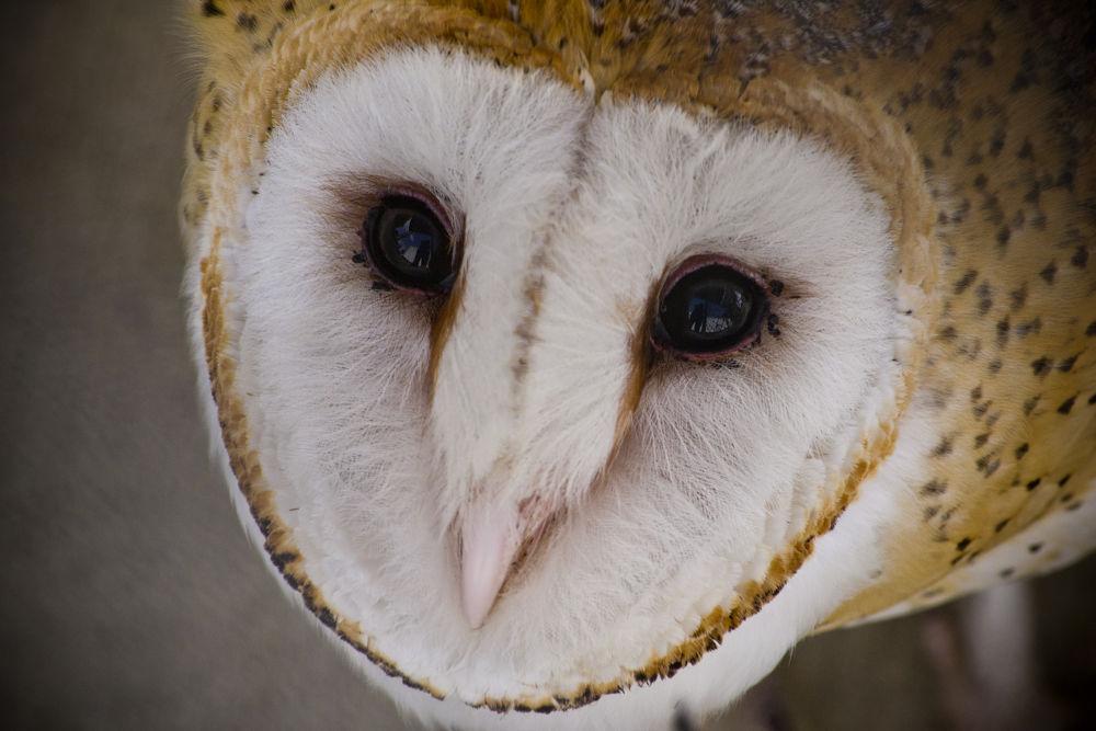 Barn Owl by Janie Best