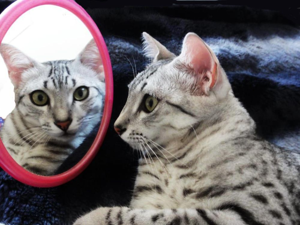 Mirror mirror Maui (Egyptian Mau) by Mona Ohya