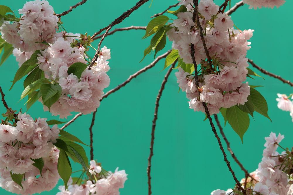 yaezakura -- multi layered cherry blossoms by Mona Ohya