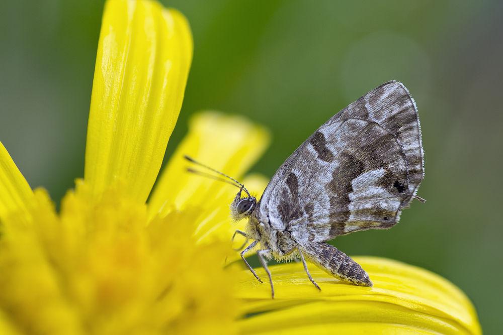 Cacyreus marshalli by albertoc77