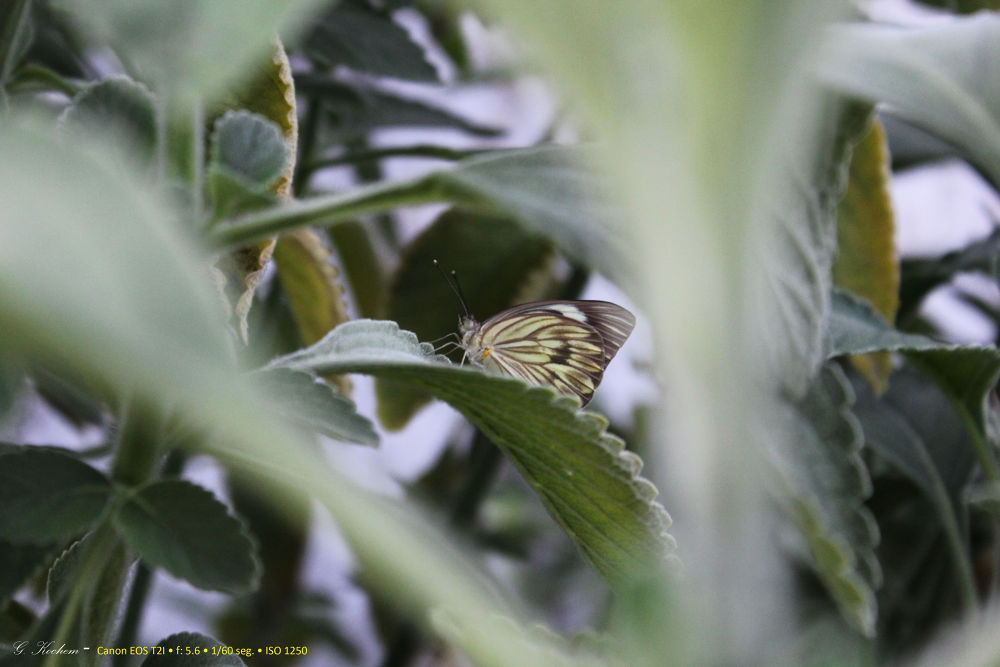 A Borboleta - The Butterfly by gkochem