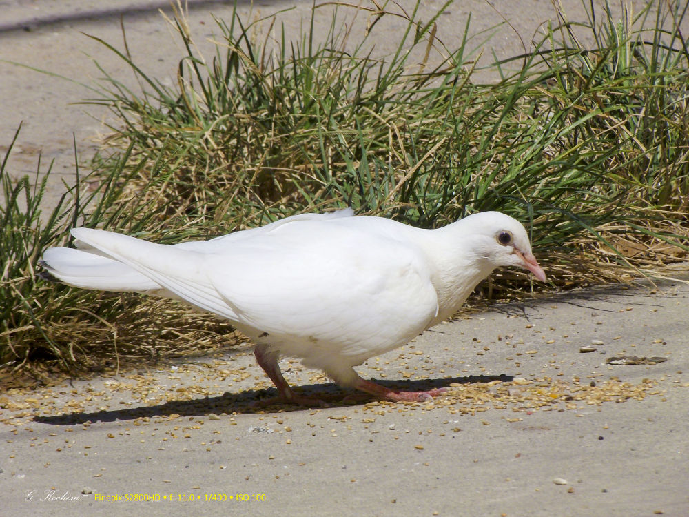 Pomba Branca / white dove by gkochem