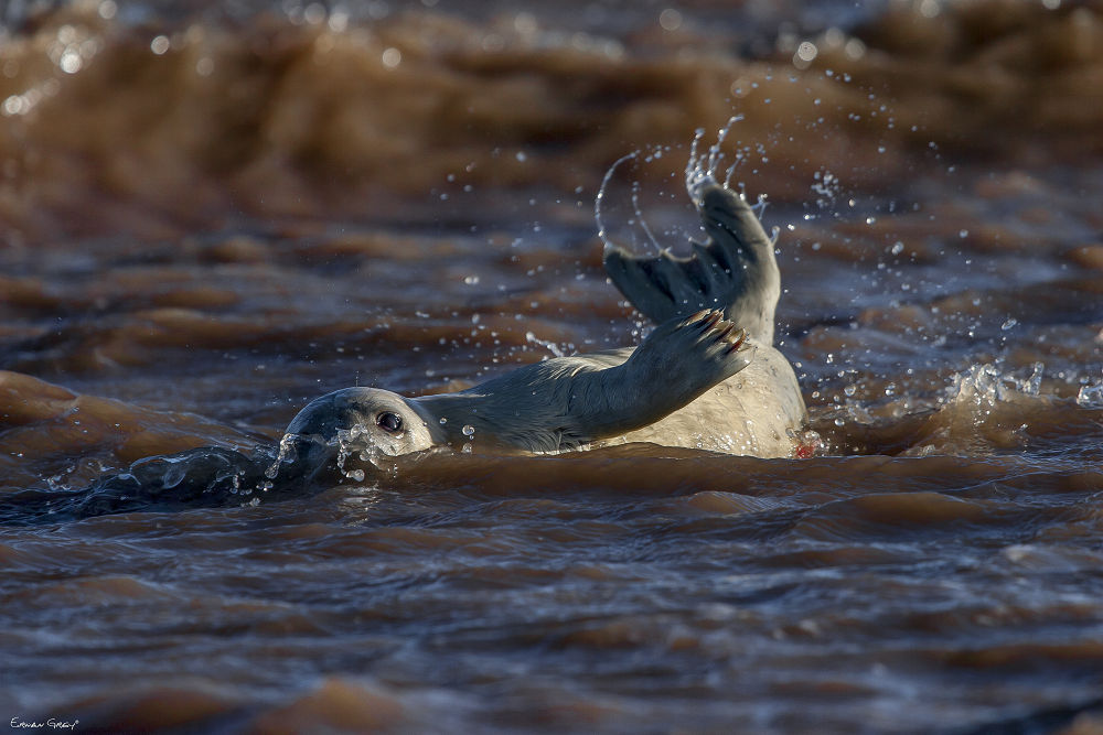 New Born Seal by Erwan Grey