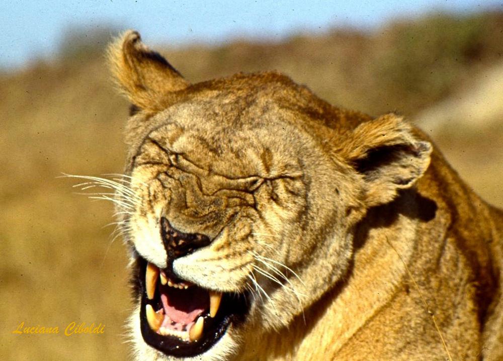 leonessa del Masai Mara_Kenya by Luciana Ciboldi