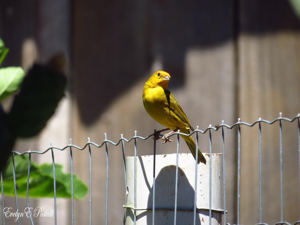 Photo in Nature #pássaro #canário da terra #nature #natureza