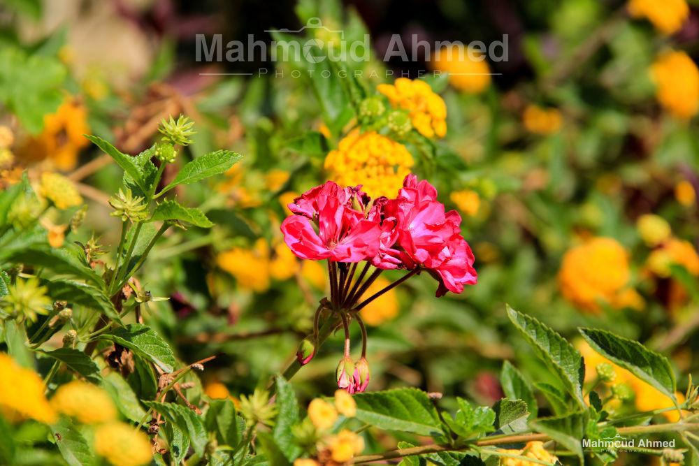 Flower by Mahmoud Ahmed