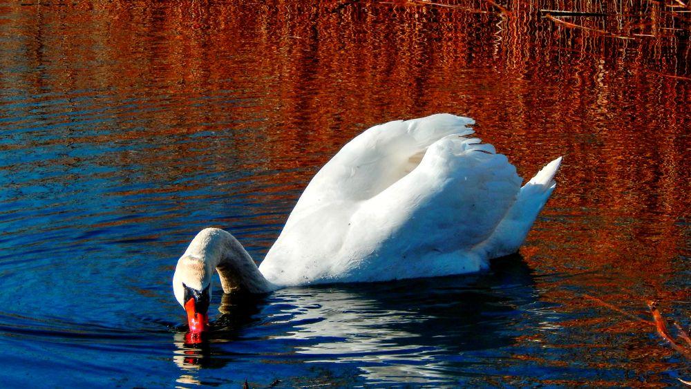swan king by Nenad Milic