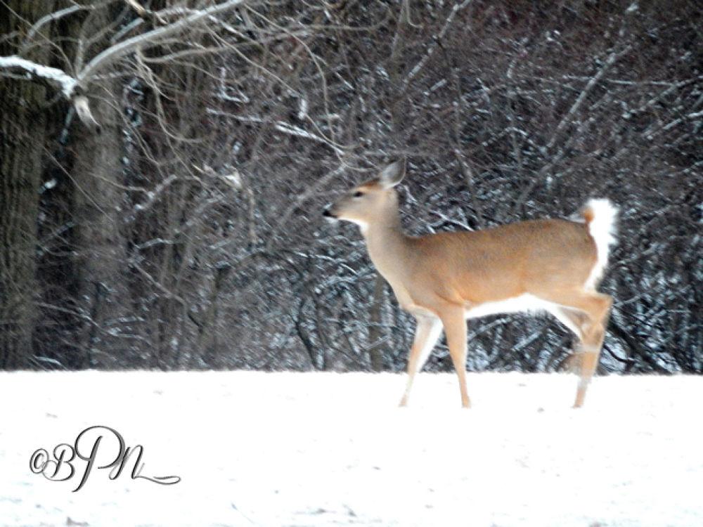 Deer11 by Bryce Nathaniel Desmond