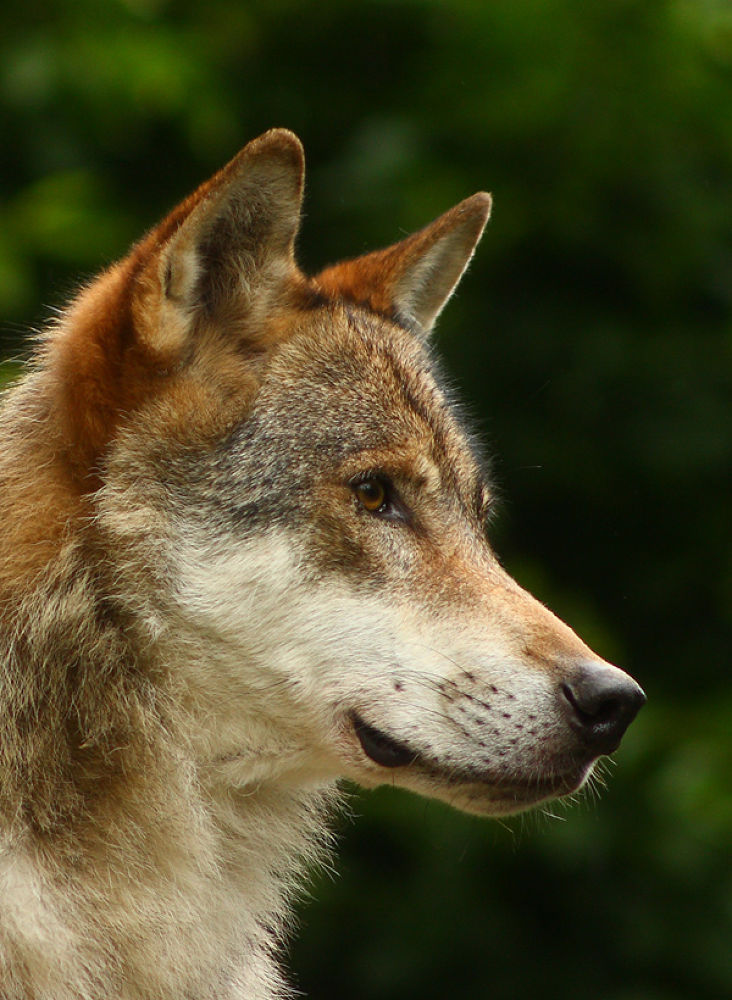 Photo in Animal #animal #wolf #nature