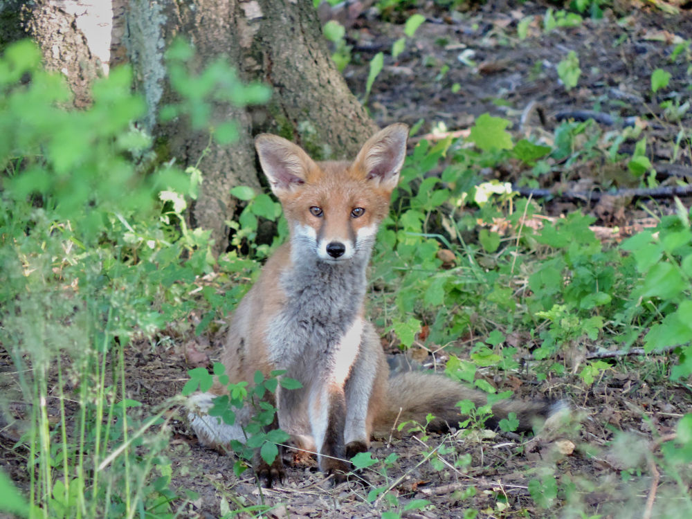 DSCN0879 - Little fox by John Friis Mortensen