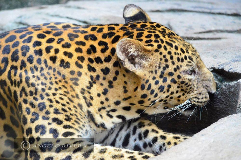 jaguar? by Angelo Rivera