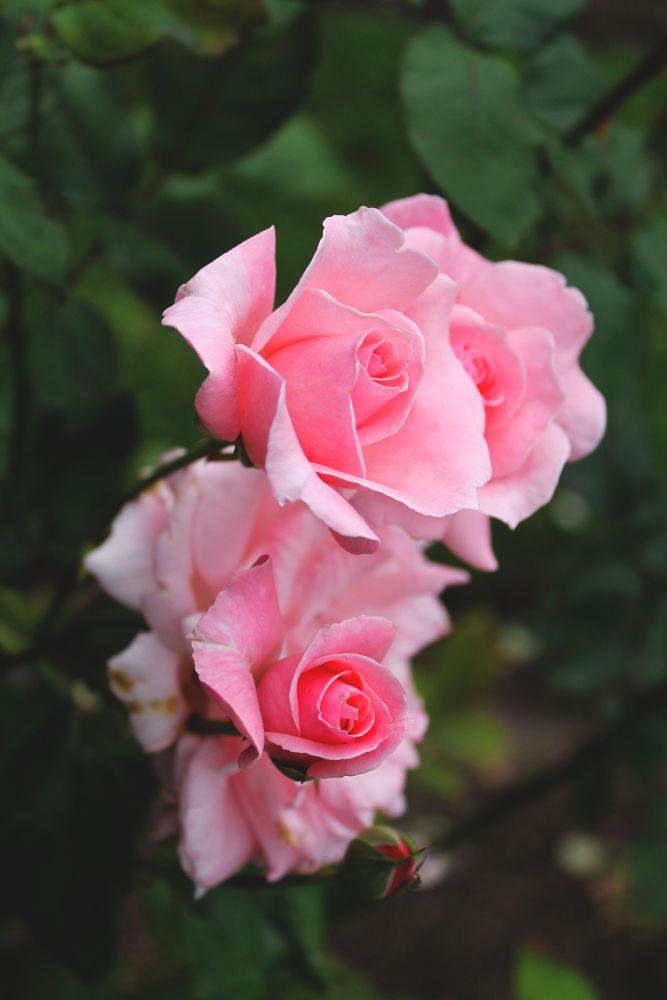 Petal Pink  by Anastasia Otto